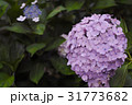 紫陽花 31773682