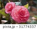 お花 フラワー 咲く花の写真 31774337