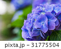 紫陽花 あじさい アジサイの写真 31775504
