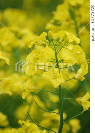 満開の菜の花畑01 31775720