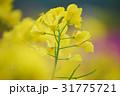 満開の菜の花畑02 31775721