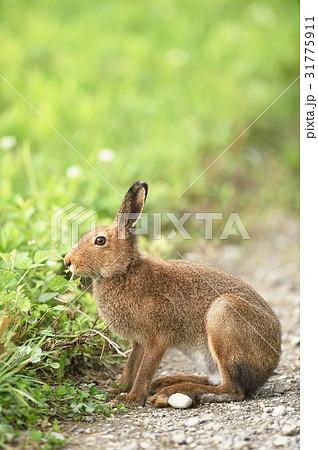 野生のウサギ(北海道) 31775911