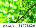 若葉 葉 葉っぱの写真 31778820
