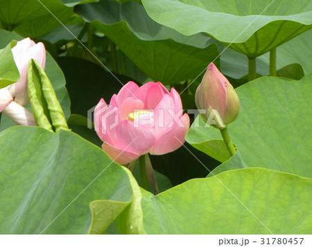 千葉公園のオオガハスの桃色の花 31780457