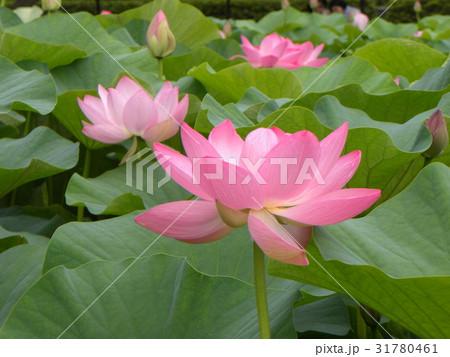 千葉公園のオオガハスの桃色の花 31780461