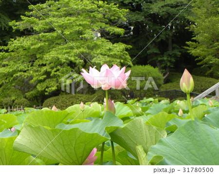 千葉公園のオオガハスの桃色の花 31780500