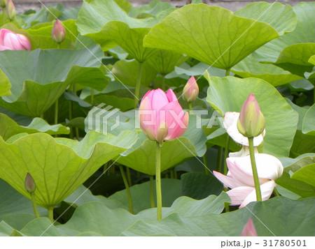 千葉公園のオオガハスの桃色の花 31780501