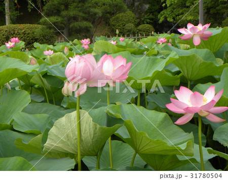 千葉公園のオオガハスの桃色の花 31780504