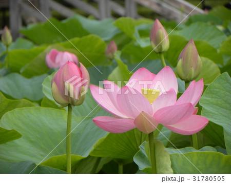 千葉公園のオオガハスの桃色の花 31780505