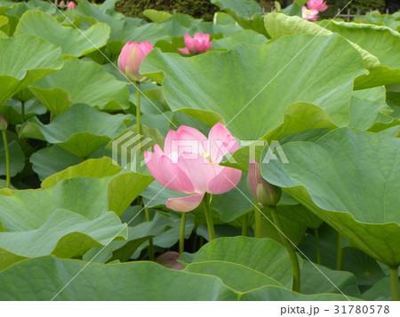 千葉公園のオオガハスの桃色の花 31780578