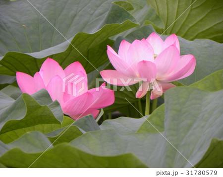 千葉公園のオオガハスの桃色の花 31780579