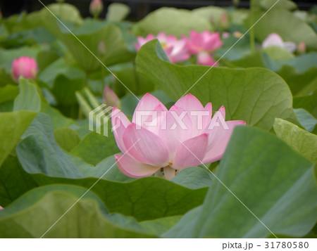 千葉公園のオオガハスの桃色の花 31780580