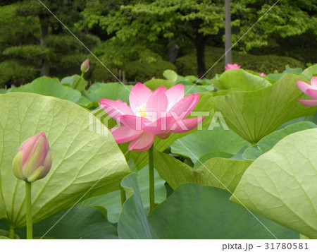 千葉公園のオオガハスの桃色の花 31780581