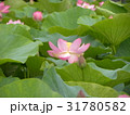 千葉公園のオオガハスの桃色の花 31780582