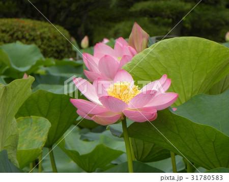 千葉公園のオオガハスの桃色の花 31780583