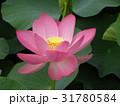 千葉公園のオオガハスの桃色の花 31780584