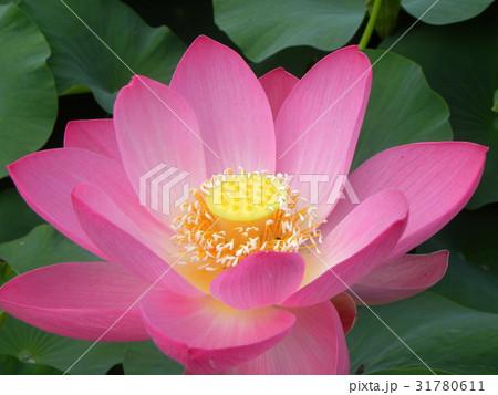 千葉公園のオオガハスの桃色の花 31780611