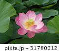 千葉公園のオオガハスの桃色の花 31780612