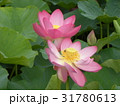 千葉公園のオオガハスの桃色の花 31780613