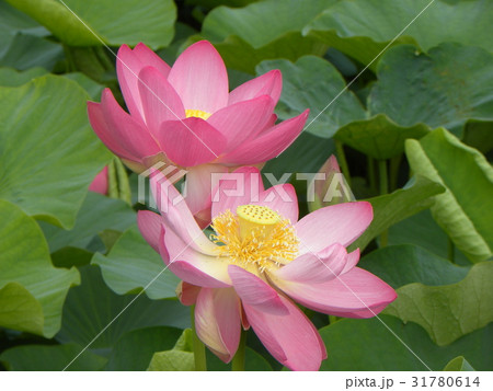 千葉公園のオオガハスの桃色の花 31780614