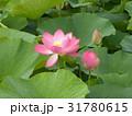 千葉公園のオオガハスの桃色の花 31780615