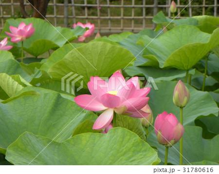 千葉公園のオオガハスの桃色の花 31780616
