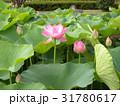 千葉公園のオオガハスの桃色の花 31780617