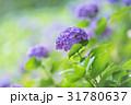 アジサイ 紫陽花 花の写真 31780637