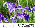菖蒲 ショウブ 花の写真 31780673