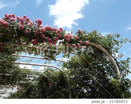 習志野市のバラ園のバラアーチの桃色バラ 31780855