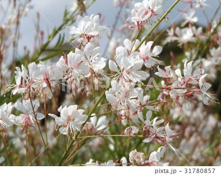 白蝶花は花期の長い花です 31780857