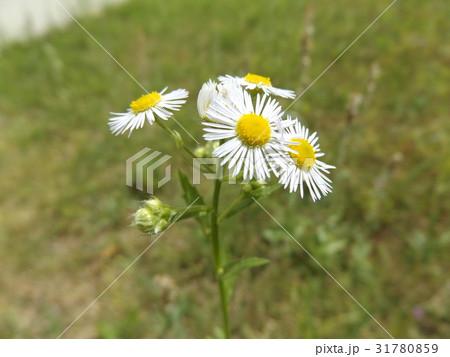 ヒメジョオンの白い花 31780859