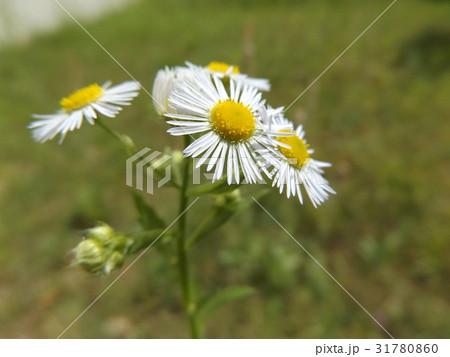 ヒメジョオンの白い花 31780860