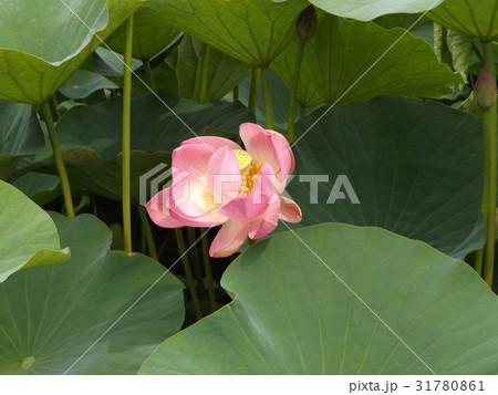千葉公園のオオガハスの桃色の花 31780861