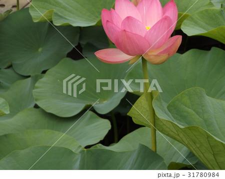 千葉公園のオオガハスの桃色の花 31780984