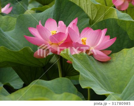 千葉公園のオオガハスの桃色の花 31780985