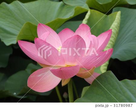 千葉公園のオオガハスの桃色の花 31780987