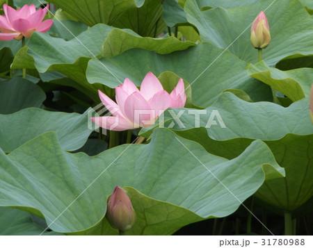千葉公園のオオガハスの桃色の花 31780988