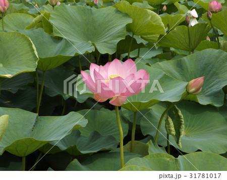 千葉公園のオオガハスの桃色の花 31781017