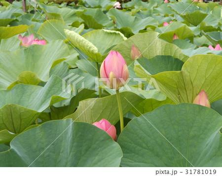 千葉公園のオオガハスの桃色の蕾 31781019