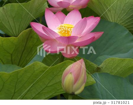 千葉公園のオオガハスの桃色の花 31781021