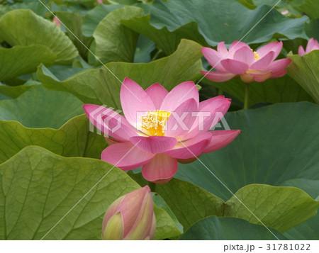 千葉公園のオオガハスの桃色の花 31781022