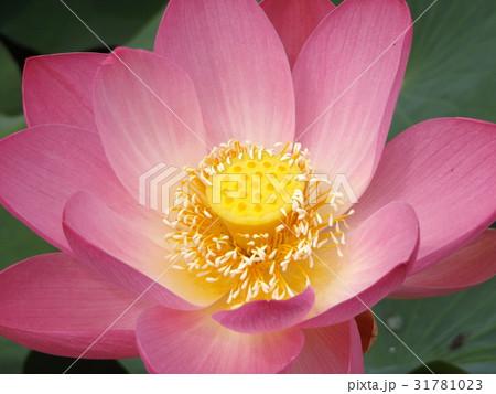 千葉公園のオオガハスの桃色の花 31781023