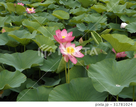 千葉公園のオオガハスの桃色の花 31781024