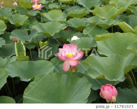 千葉公園のオオガハスの桃色の花 31781025