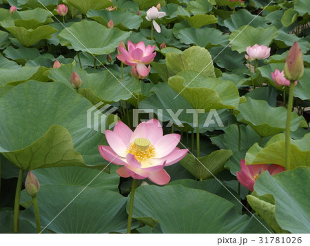 千葉公園のオオガハスの桃色の花 31781026