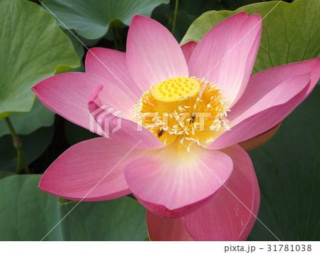 千葉公園のオオガハスの桃色の花 31781038