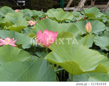 千葉公園のオオガハスの桃色の花 31781039