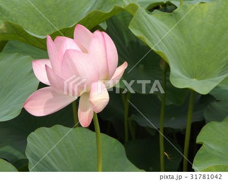 千葉公園のオオガハスの桃色の花 31781042