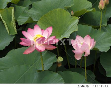 千葉公園のオオガハスの桃色の花 31781044